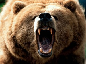 Eurasian_Brown_Bear