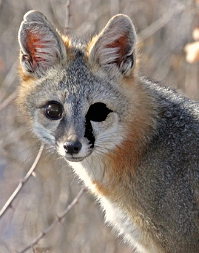 Gray fox. Bing free use license.