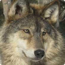Gray wolf. Photo by Ashley McPherson. Wikimedia Commons. Image not of OR-7.