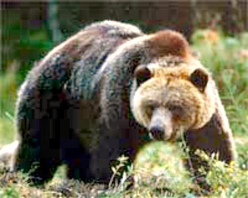 Grizzly. Courtesy U.S. Bureau of Reclamation.