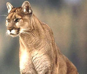 Lion.nps