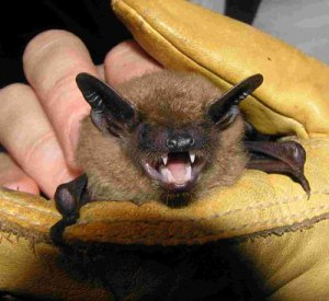 LittleBrownBat_USDA