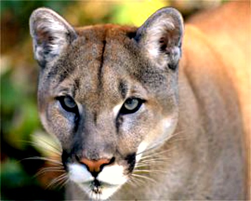 Mountain lion. Courtesy U.S. Bureau of Land Management.