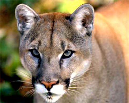 Mountain lion. Courtesy U.S. Bureau of Land Management.