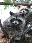 450px-Treed_Raccoons