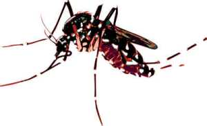 Asian tiger mosquito.