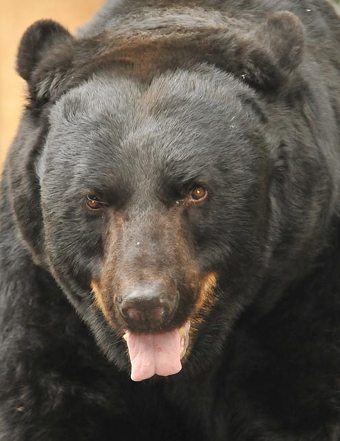 Black bear. Bing free use license.
