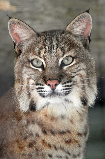 Bobcat. BING free use license.