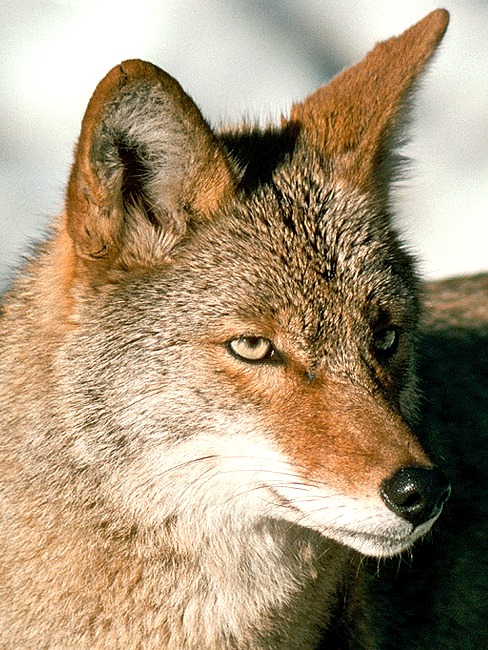 Coyote. Photo by Illinois Department of Natural Resources.