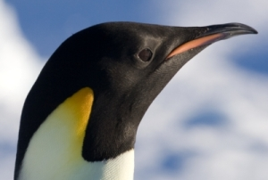 Emperor penguin. Photo by Samuel Blanc. Wikimedia Commons.