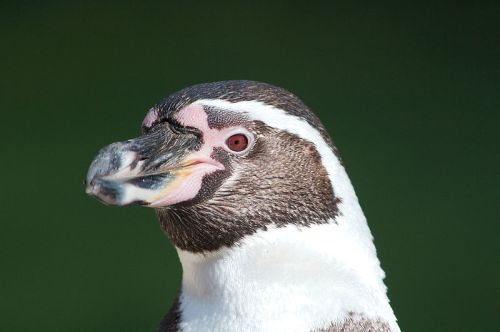 Humboldt penguin. Photo by Dori. Wikimedia Commons.