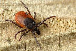 European wood tick.
