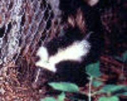 PHIL_2186_thumb Skunk