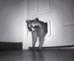 raccoon_cat_door