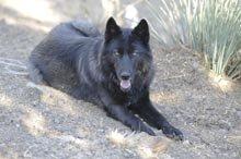 Wolfdog0025-220