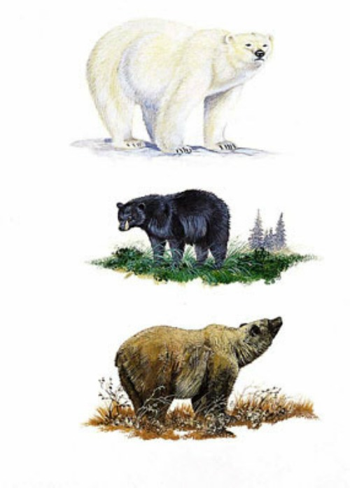 Polar, Black, & Grizzly bears. Wikispaces. Bing free use license.