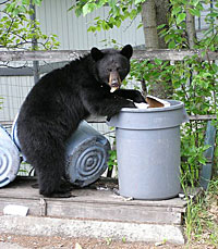 bear_in_garbage