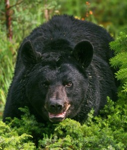 Black bear. Courtesy Utah Division of Wildlife Resources.