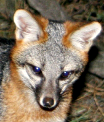 Gray fox kit. Photo by Calius. Wikimedia Commons.