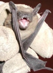 LittleBrownBat