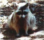 raccoon-loomcom