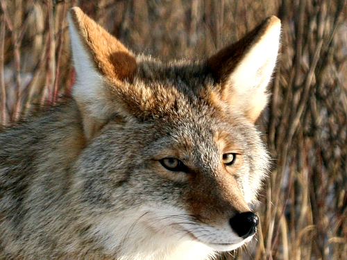 Coyote. Bing free use license.