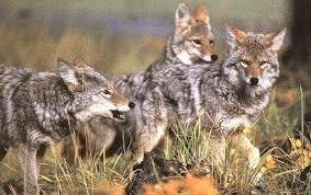 coyotePack