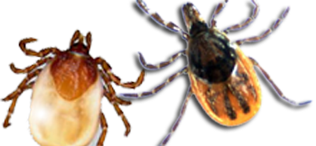 (L to R) Woodchuck tick (ixodes cookei) and Deer tick (ixodes scapularis). Courtesy CDC