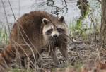 raccoon880er0r