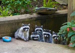 urban-raccoons-by-liz-west-cc