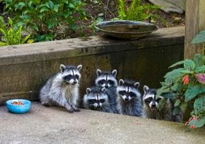 urban-raccoons-by-liz-west-cc
