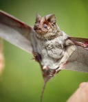 090828-free-tailed-bats-love-songs_big