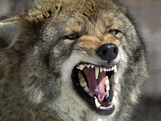 1_62_coyote_snarl
