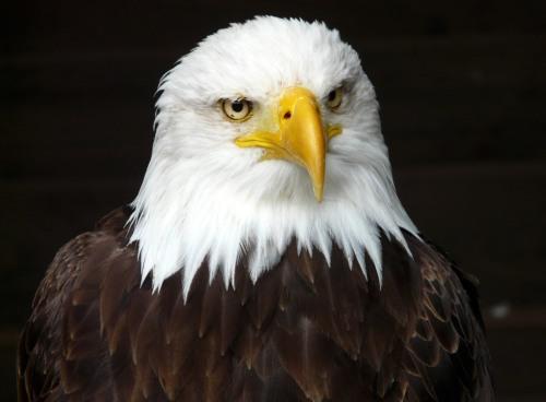 Bald Eagle. Bing free use license.