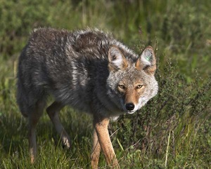 Coyote-stalking-prey-998