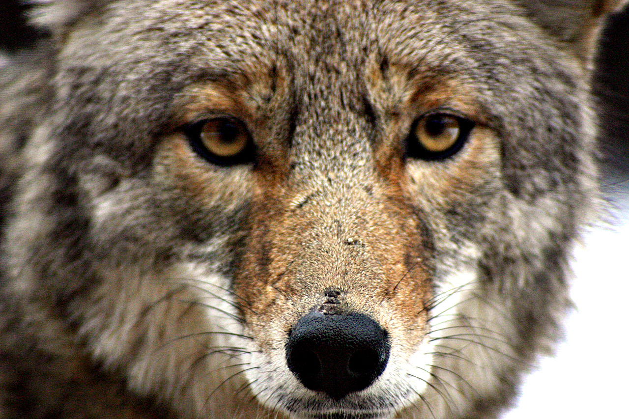 Mountain lion face close up - photo#22