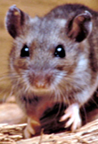 Deer mouse. Courtesy CDC.