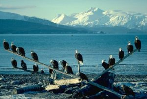 Flock of Bald eagles