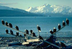 Flock of Bald eagles
