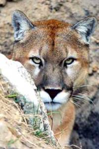 s_mountain-lion-0002