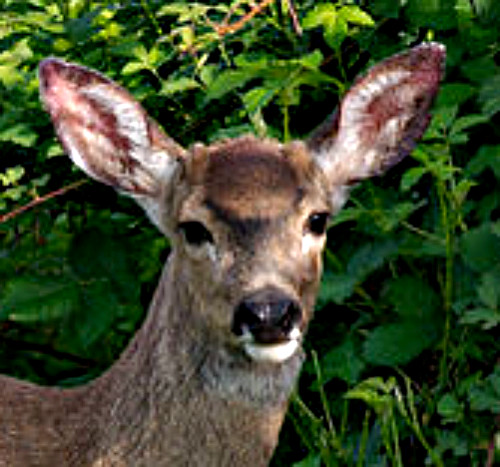 Whitetail doe. PD. Wikimedia Commons.