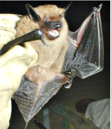 Big brown bat. Common in South Carolina. Bing free use license.