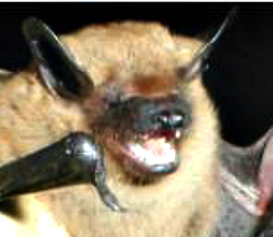 Big_brown_bat28834