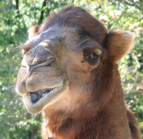 Camel, dromedary. PD. Wikimedia Commons.