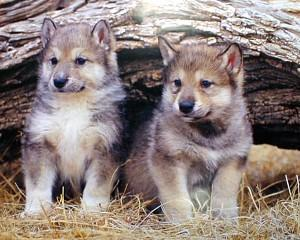 r_gray_wolf_pups1