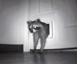 raccoon_cat_door