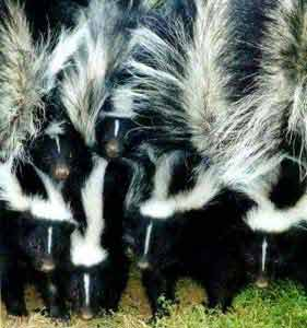 striped-skunks-01_000