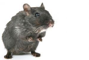 1097368_black_rodent(1)