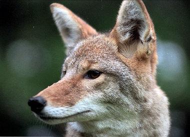 Coyote/Wolf Hybrids | Natural Unseen Hazards Blog