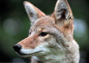 9661542-wolf.coyote.hybrid